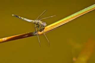 Blue Skimmer Dragonfly (Female or immature male)