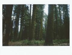 mossy trees (kristen cynthia) Tags: trees nature nationalpark moss woods hike yosemite instantphotography fujifilminstax