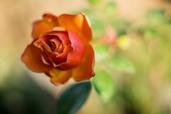 _DSC9222.jpg (joerg.stappen) Tags: rose blume unsergarten