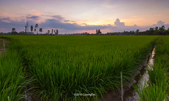 rice-paddies (cuongchido) Tags: sky plant green field clouds sunrise landscape countryside rice sundown outdoor greenfield canon60d tokina1116mm