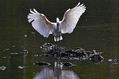 Royal Spoonbill (Rodger1943) Tags: spoonbills waterbirds australianbirds royalspoonbill faunainmotion fz1000