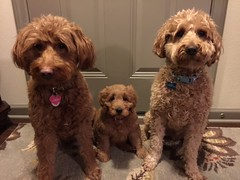 What a super cute group of 3 of our mini goldendoodles!  Daphne, Shelby's little girl and Scooby know how to be good for treats!!!