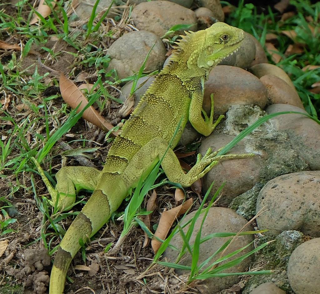 Silver Iguana (steffaleon) Tags lighting light portrait bali green nature animal animals fauna & The Worldu0027s Best Photos of escamas and lizard - Flickr Hive Mind azcodes.com