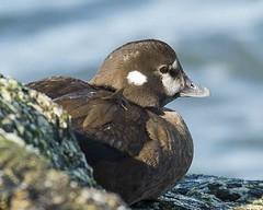 Female Harlequin (swmartz) Tags: nature birds newjersey nikon wildlife january ducks waterfowl barnegat barnegatlighthouse 2016