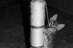 #kitten (valentinalazza) Tags: bw italy cats house black love home animal contrast cat photo fight photographer photos tiger bn bianco animali