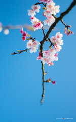 cherry blossom (sigma9988) Tags: cherry 50mm blossom bokeh sakura f18   oreston  gorlitz meyeroptik
