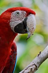 Parrot (eugenia.mazza) Tags: bird argentina animal zoo buenosaires nikon colours buenos aires parrot papagayo temaiken d3100