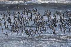 Mostly Dunlin (Keith Grafton) Tags: birds dunlin