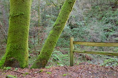 Green Trees and Fence (Redwood Reverence) Tags: california trees tree green heritage forest fence woods san stream neon bright grove mateo