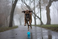 pounced on the ball (Tams Szarka) Tags: trees dog pet nature animal fog ball puppy outdoor boxerdog