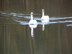 Enz bei Pforzheim - Schwne (thobern1) Tags: germany swans pforzheim schwne badenwrttemberg enz eutingen