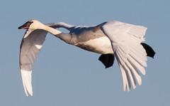 Trim Adjustment (Jay:Dee) Tags: park lake ontario bird burlington flying swan waterfront flight smith spencer avian trumpeter cygnus buccinator