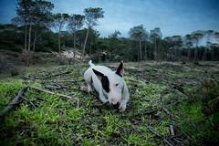 Lovely son (Nils13.) Tags: sardegna dog contrast tyson natura company bullterrier pineta pard contrasto pinet forestofpinetrees