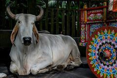 Costa Rica in to parts (Rolling JP) Tags: costa color animal model nikon visit rica 5300 buey carroza