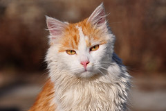 Cat portrait (natureloving) Tags: pet macro nature cat nikon portrai d90 afsvrmicronikkor105mmf28gifed natureloving