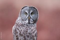 Great Gray Owl (Strix nebulosa) (Tony Varela Photography) Tags: owl greatgrayowl strix strixnebulosa phantomofthenorth photographertonyvarela
