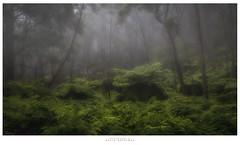 Mist in the Fern Grove (Dave Whiteman - AU) Tags: mist fog landscape australia bluemountains newsouthwales ferns shipley ferngrove