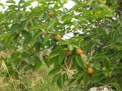 starr-060916-8870-Diospyros_kaki-fruit-Kula-Maui (Starr Environmental) Tags: diospyroskaki