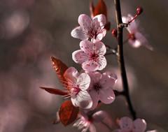 pink (Johnson Cameraface) Tags: pink winter flower tree 50mm blossom olympus m42 february f18 manualfocus em1 2016 micro43 meyeroptikgorlitzoreston johnsoncameraface omde1