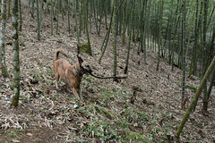 Tigger Playing 1 (Bob Hawley) Tags: pets playing dogs forest outdoors sticks asia farming taiwan bamboo agriculture nantoucounty nikon1755f28 xiaobantian nikond7100 taiwantugou