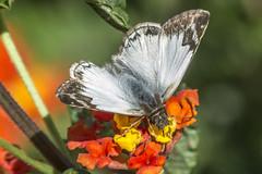 Heliopetes alana (Alana White Skipper) (PriscillaBurcher) Tags: skipper pyrginae whiteskipper heliopetes veinedwhite alanawhiteskipper heliopetesalana mariposasdecolombia butterfliesfromcolombia l1740612