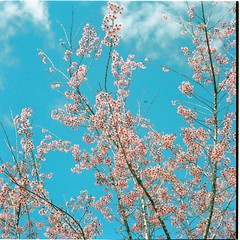 Signs of Spring (Khnh Hmoong) Tags: pink flower film mediumformat cherry spring blossom sakura 120mm yashicamat124g kodakportra160