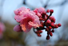 plum_20160213_15 (faeparsons) Tags: flowers blossoms plumblossoms