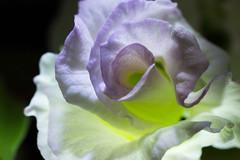 Flower (nak.viognier) Tags: flower   leicadgmacroelmarit45mmf28 olympusepl3