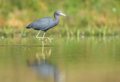 Little Blue Heron (PeterBrannon) Tags: reflection bird nature water florida wildlife blueheron littleblueheron egrettacaerulea wadingbird pinellascounty newportrichey