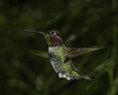 The Flying Jewel (Bill Gracey) Tags: california male bird nature ambientlight naturalbeauty hovering bif annashummingbird naturephotography birdinflight lightstand calypteanna offcameraflash yn560 yn560ii yongnuorf603n yn560iii
