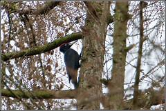 Zwarte specht, mannetje (pietplaat) Tags: vogels zwartespecht pietplaat hilversumspanderswoud