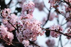 IMG_6099M Sakura. 桜. 櫻花. (陳炯垣) Tags: