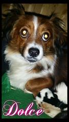 Dolce (santuariolacandela) Tags: españa dog spain puppies perro cachorro animalsanctuary femaledog adoption perra cachorra fosterhome acogida adopción cabezalavaca santuariolacandela