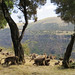 Simien mountains baboons Eth_0132r