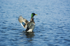 (kosciuczyka) Tags: lake bird nature water duck spring swan nikon d5200 nikond5200