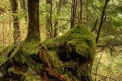 Moss-covered Tree Roots: Ketchikan Alaska (mharoldsewell) Tags: tree alaska d50 moss nikon photos roots nikond50 nikkor 2008 ketchikan mharoldsewell mikesewell