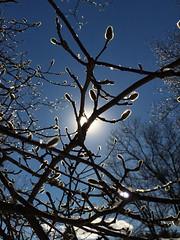 Winter Magnolias (Scorpiol13) Tags: winter light tree glow blossom bluesky sparkle bloom magnolia buds icicles lightandshadow budding artofimages