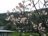 cherry blosom (annayu216) Tags: mountain flower taiwan yanming