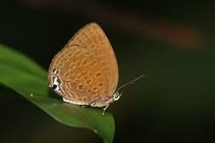 Arhopola hypomuta (moloch05) Tags: malaysia taman negara