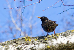 Starling (El Mariachi Minsk) Tags: sunlight tree bird birds animals spring europe naturallight april birch belarus canoneos minsk easterneurope springtime canonef24105f4l canonllens naturalillumination canon7d naturemwildnature