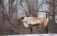 Reindeer (MorboKat) Tags: toronto animal reindeer mammal zoo animalia mammalia torontozoo cervidae artiodactyla rangifertarandus capreolinae