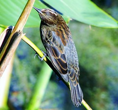 Agelaius phoeniceus --  Red-winged blackbird [female] 1660 (Tangled Bank) Tags: county red wild black green beach nature wet water animal fauna natural florida palm wetlands land marsh cay blackbird marshland wetland banded phoeniceus redbanded agelais