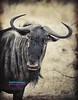 WCC_2493- Wildebeest_Retro (biohazard_) Tags: africa nature animals southafrica mammal wildlife bull gaborone botswana horn wildebeest herbivore bufallo africansafari bluewildebeest bullwildebeest