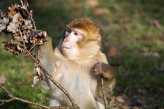 where's the acorn? (okrakaro) Tags: portrait nature animal germany zoo monkey natur acorn tier februar affe rheine 2016 barbarymacaque berberaffe eichelnuss