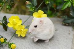 DSC_6620 () Tags: pet animal hamster   hammy