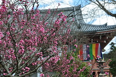 Ume Blossoms, Chishaku-in Temple, Kyoto (kyoshiok) Tags: flower japan kyoto umeblossoms chishakuintemple