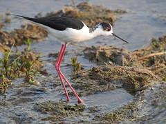 Himantopus himantopus (quarzonero ...Aldo A...) Tags: bird nature river himantopushimantopus coth cavalieriditalia coth5 sunrays5