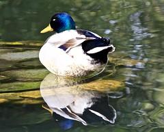 _MG_9695 (Veruuuu) Tags: duck anatra lake lago riflesso water acqua