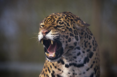 Jaguar (_pauls) Tags: cat zoo safari jaguar aggression predator snarl carnivore daltoninfurness southlakessafarizoo