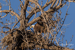 Bald Eagle brings rabbit to its nest - sequence - 13 of 13